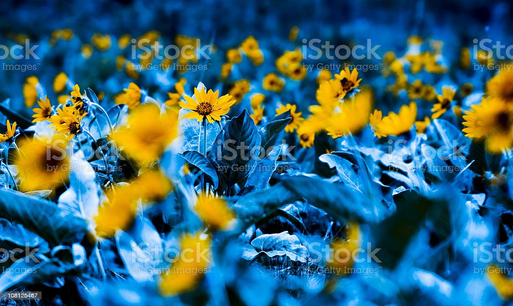 Field of Sunflowers, Toned royalty-free stock photo