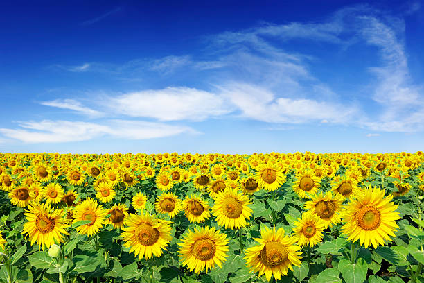 Field of sunflowers under a blue sky stock photo
