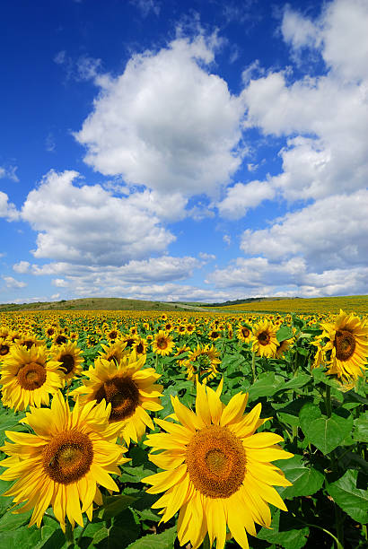 A field of sunflowers with a clear blue sky and clouds stock photo