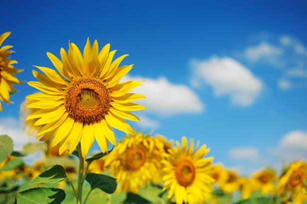 feld von sonnenblumen mit blauem himmel - sonnenblume stock-fotos und bilder