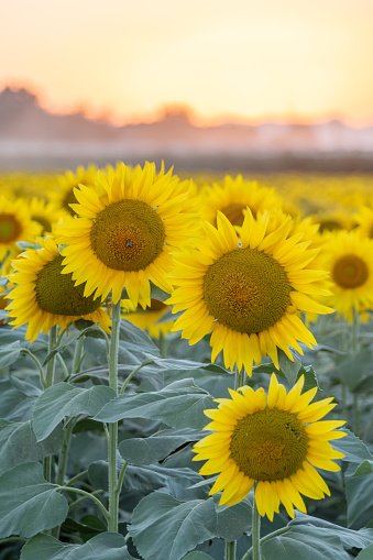 field of sunflowers with focus in foreground and background out of focus