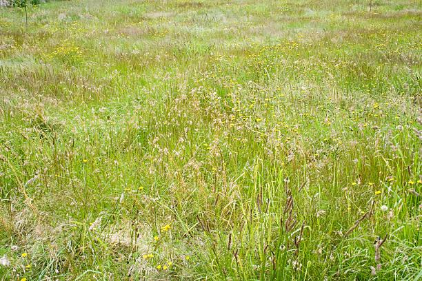 Field of tall grass II stock photo