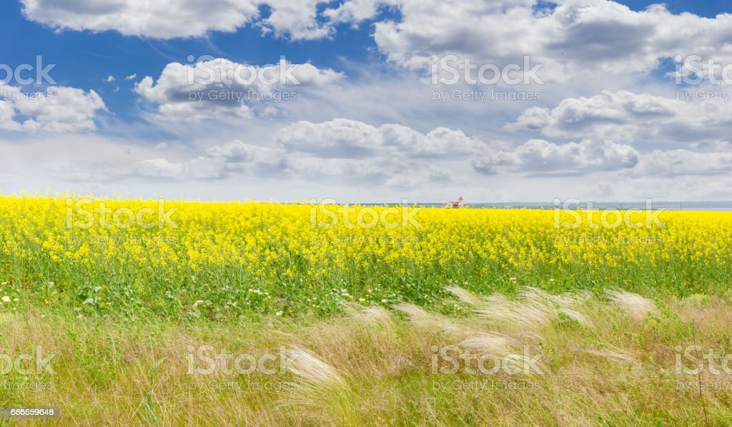 Field of the blooming rapeseed with feather grass in foreground foto stock royalty-free