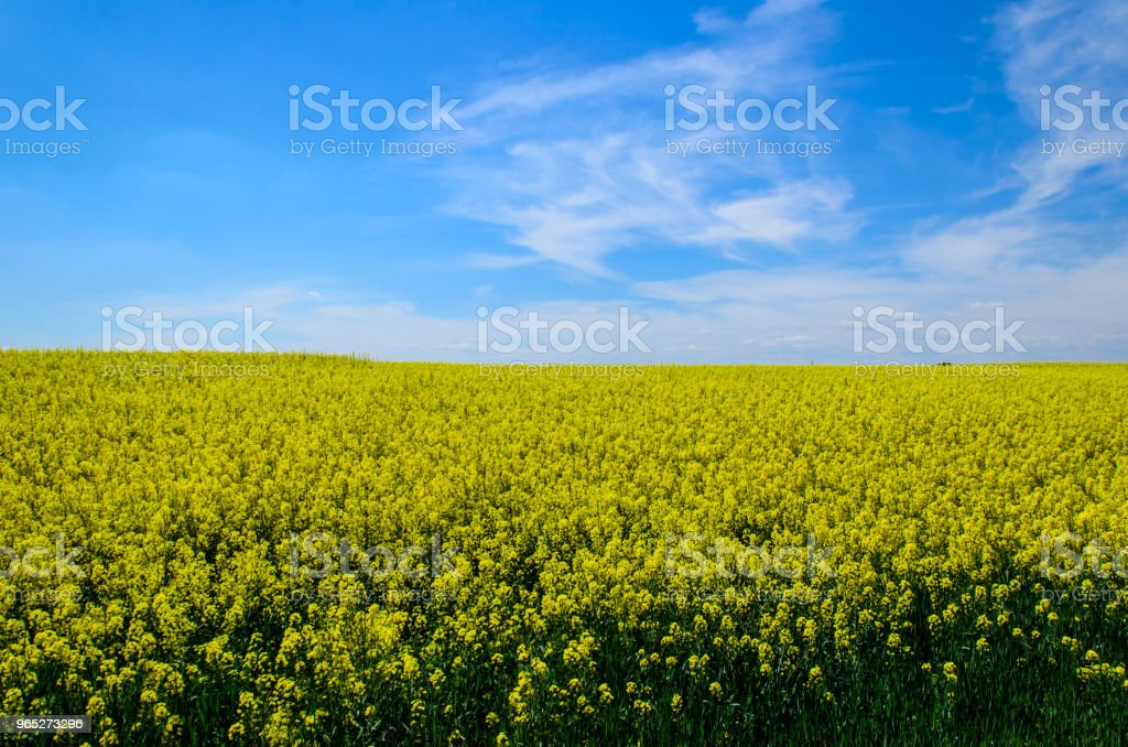 Field of the blossoming canola on spring royalty-free stock photo