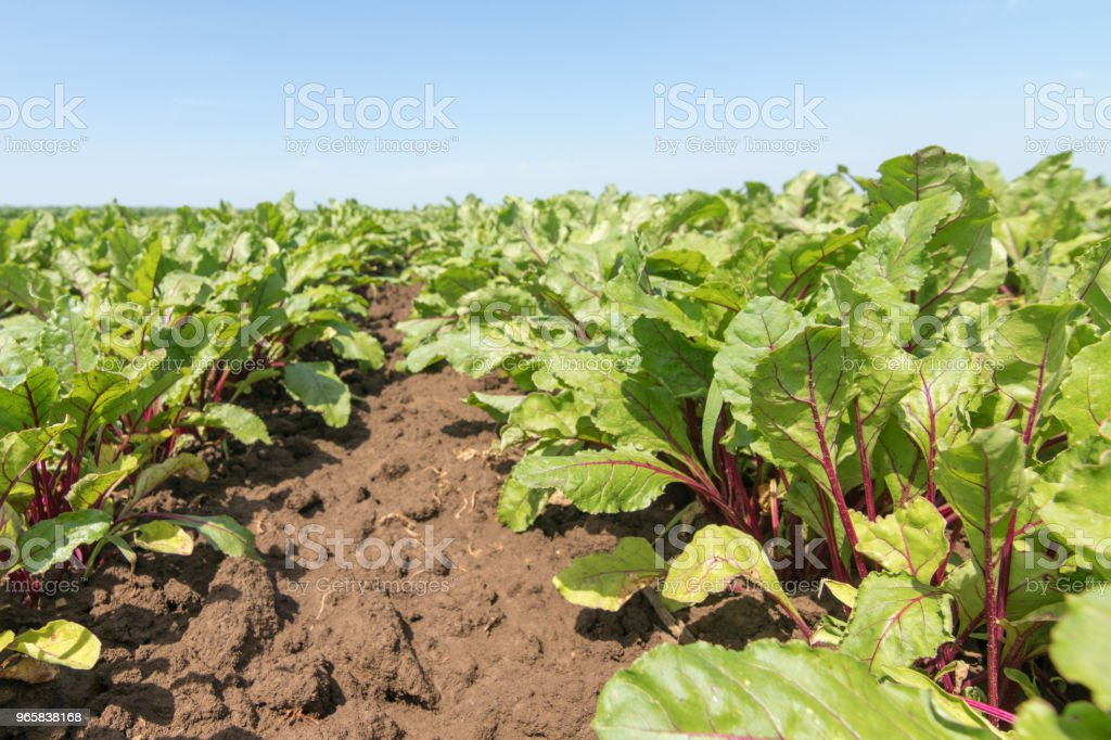 Field of the red beetroot. Young green beetroot plants. - Royalty-free Agricultural Field Stock Photo