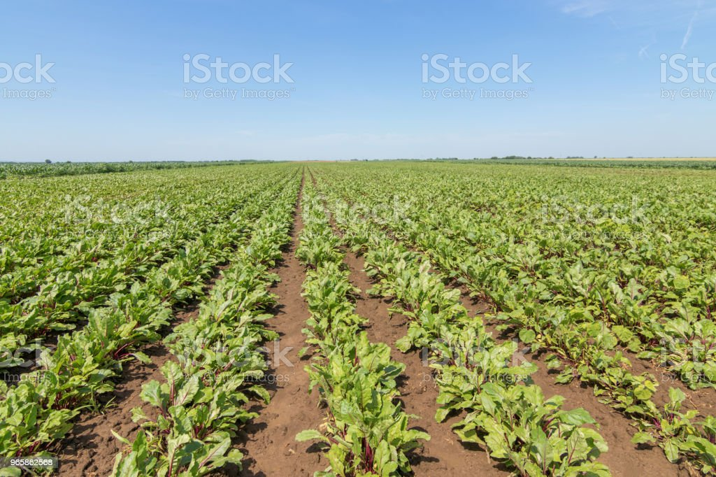 Field of the red beetroot. Young green beetroot plants. - Стоковые фото Без людей роялти-фри