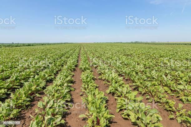 Поле Красной Свеклы Молодые Зеленые Растения Свеклы — стоковые фотографии и другие картинки Без людей