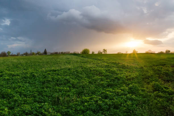 field of the young alfalfa with other plants at sunset - erba medica foto e immagini stock
