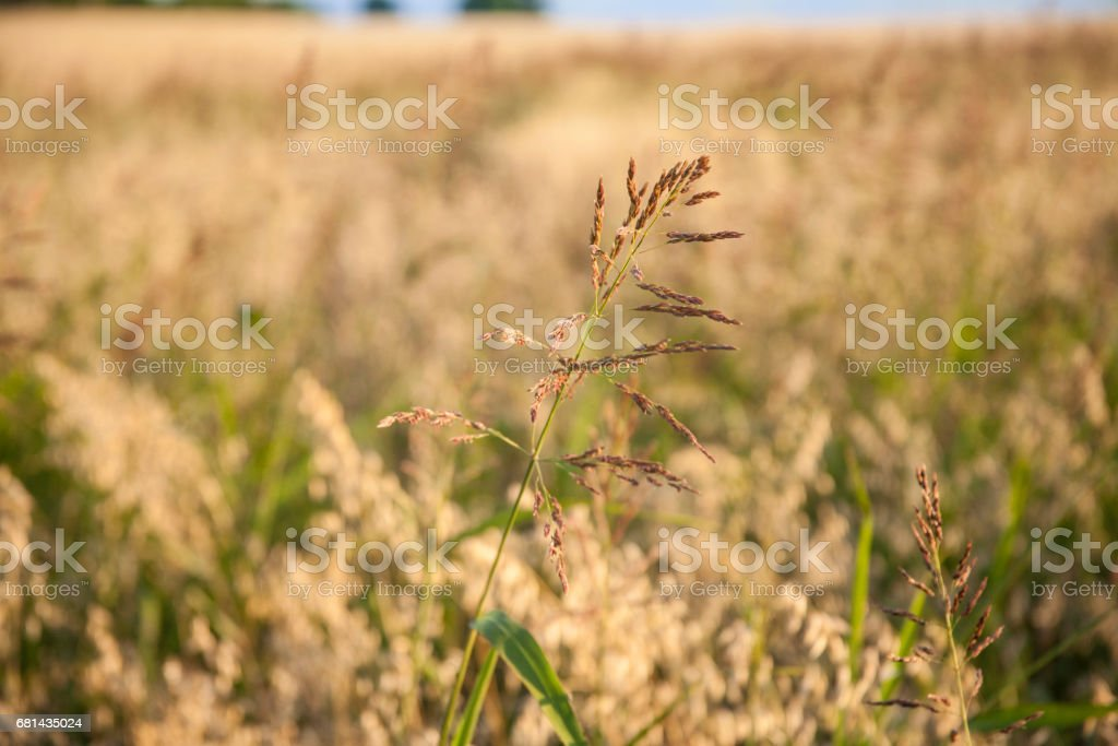 Field of thistles in remote Texas location. royalty-free stock photo