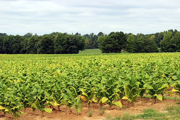 field of tobacco plants - pam schodt stock photos and pictures