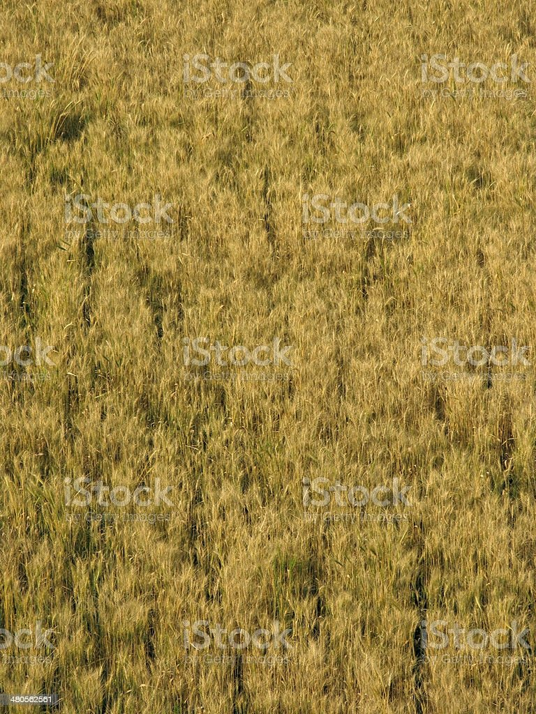 Field of Triticum aestivum L., Wheat crop royalty-free stock photo