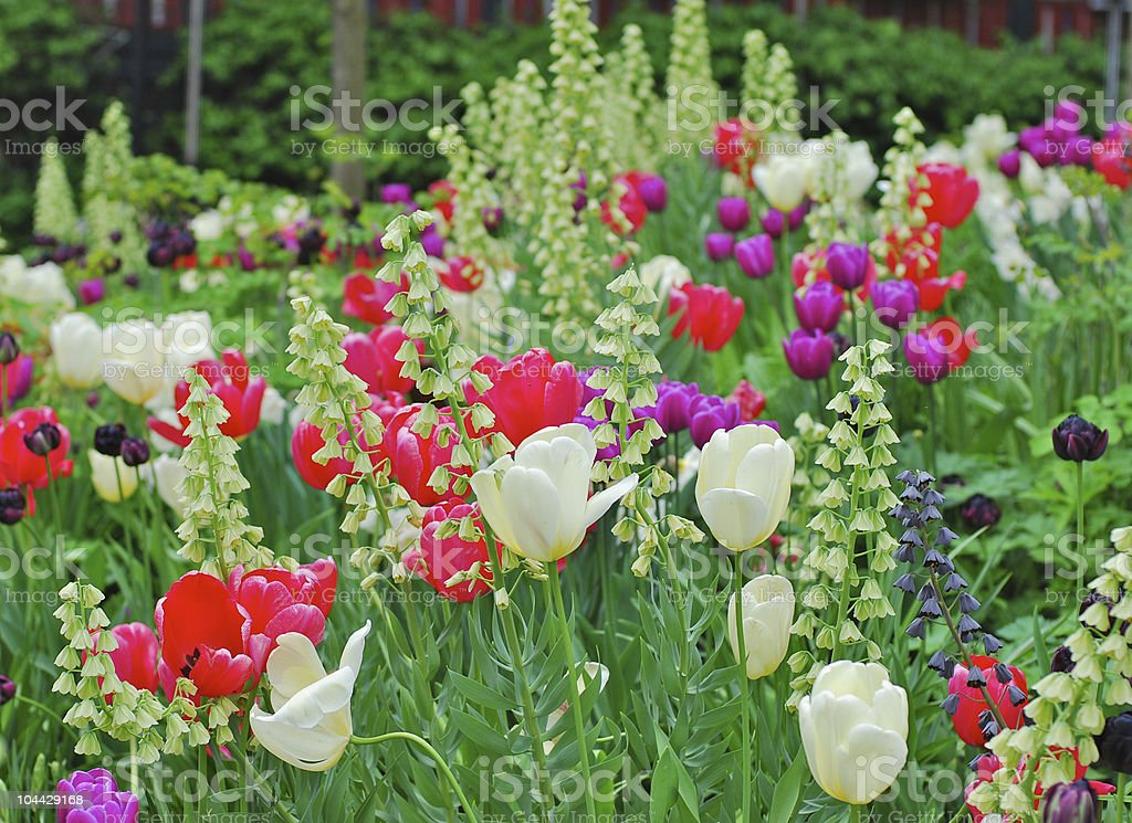 Field of tulips and other flowers royalty-free stock photo
