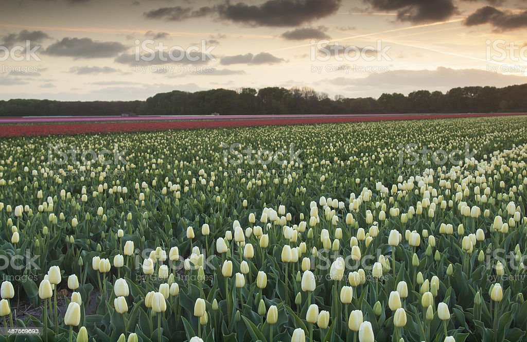 field of  tulips at sunset stock photo