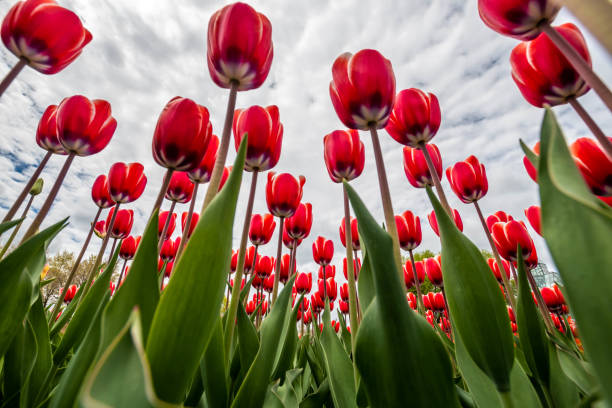 A field of tulips blooming in spring stock photo