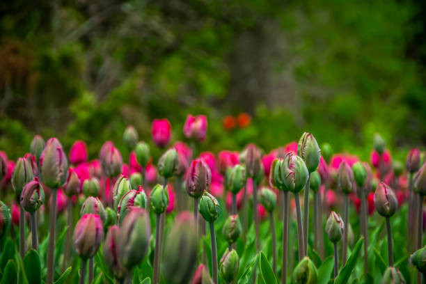 A field of tulips on the verge of blooming in spring stock photo