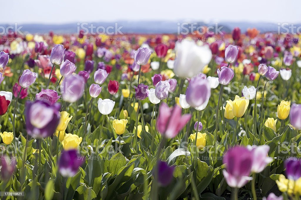 Field of Tulips royalty-free stock photo