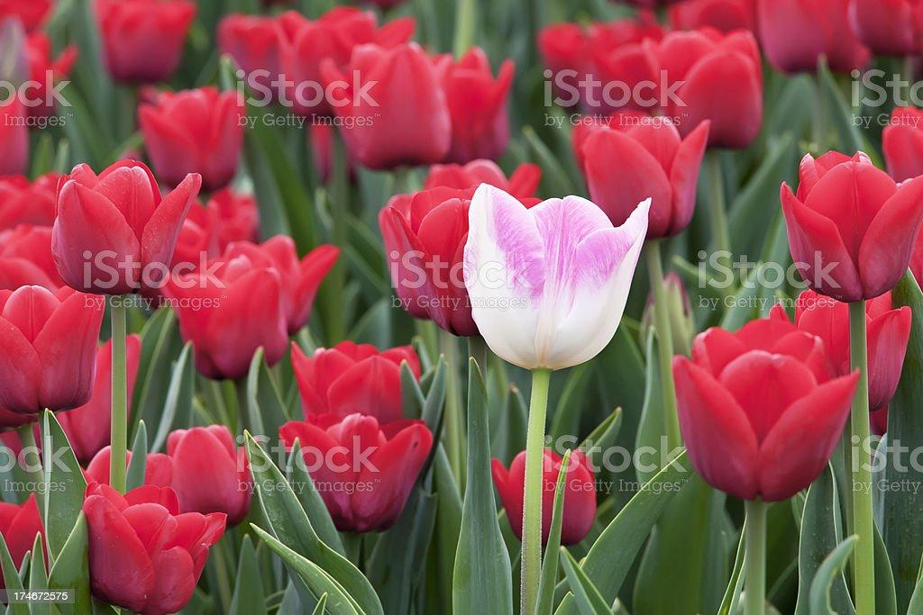 Field of tulips (XXXL) royalty-free stock photo