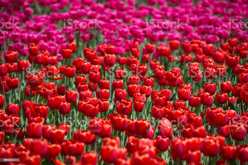 Field of Tulips red tulips and pink tulips full frame photography and beauty in nature wallpaper background stock photo