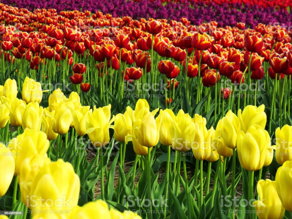 Field of tulips - yellow, two colors and purple royalty-free stock photo