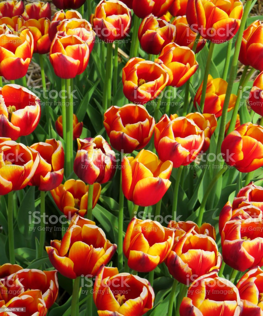 Field of Two color tulips royalty-free stock photo