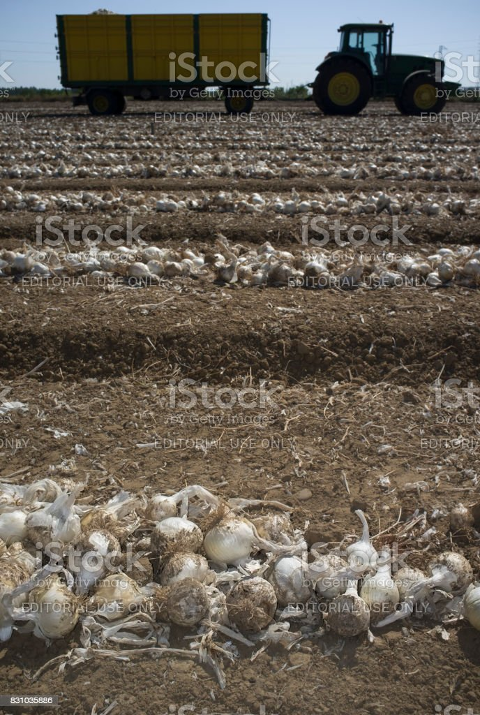 Field of unearthed onions lines and trailer at bottom stock photo