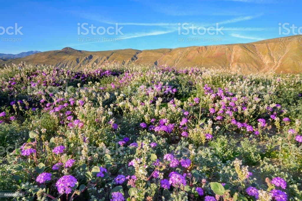 Field of Verbena, Dune Evening Primrose, Superbloom, Wildflower, Anza Borrego State Park, California stock photo