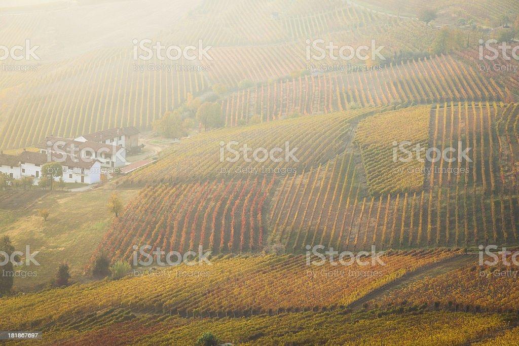 FIeld of vineyard in Tuscany royalty-free stock photo