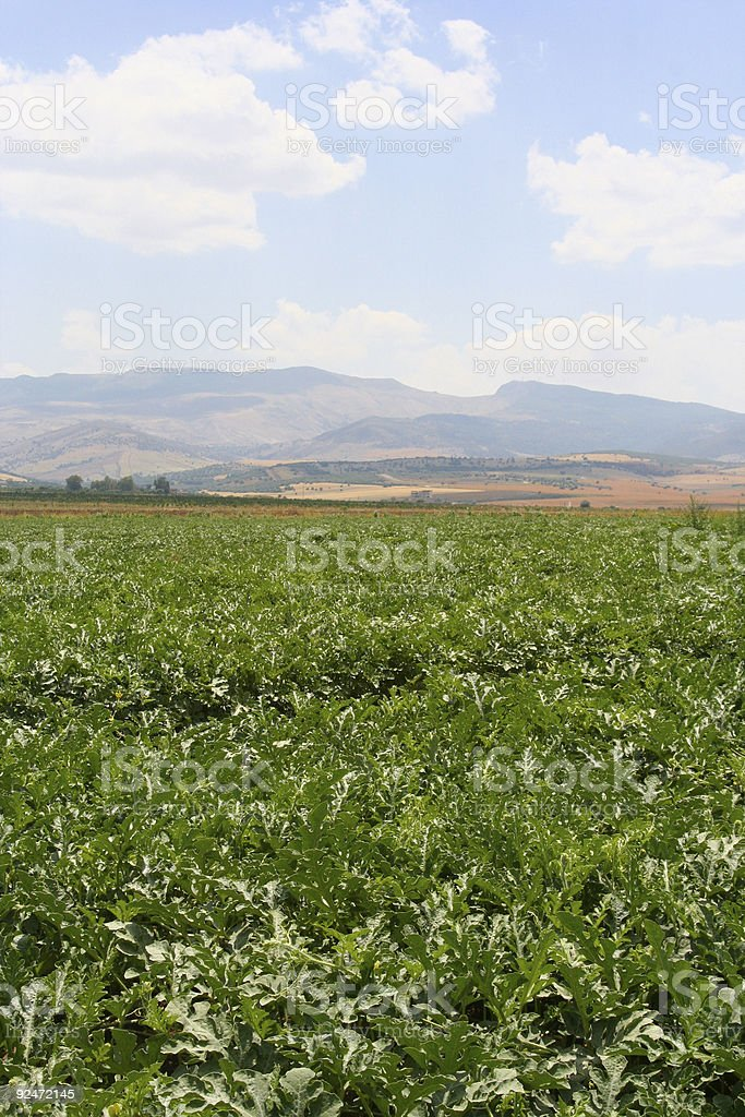 Field of Watermelon royalty-free stock photo