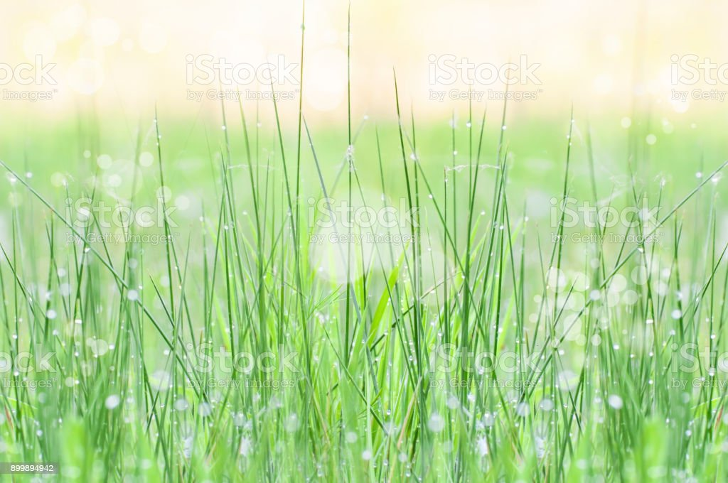 Field of wet grass by the morning stock photo
