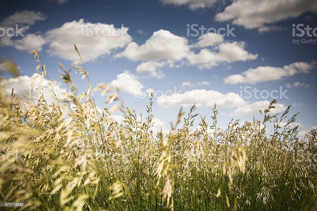 Field of Wheat and Clouds stock photo