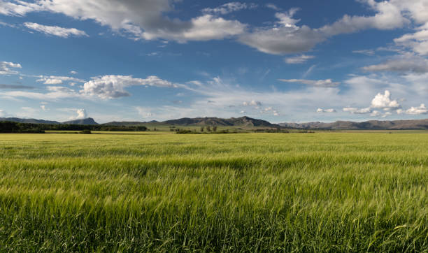 Field of wheat and mountains stock photo