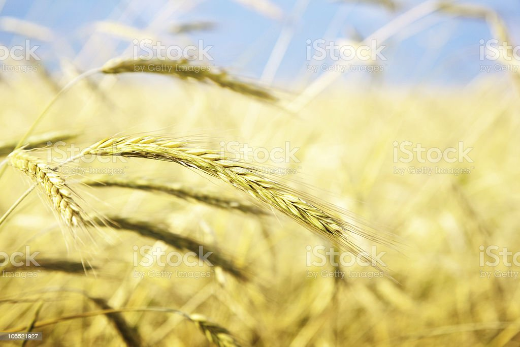 field of wheat and sunny day royalty-free stock photo