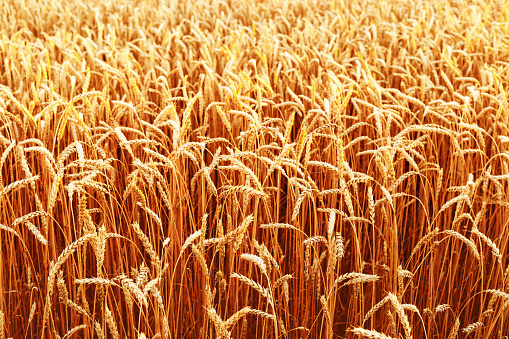 Field of wheat at autumn. Rural landscape. Ripe wheat on field.