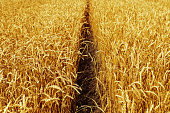 Field of wheat at autumn. Rural landscape. Ripe wheat on field. Rich harvest concept. Selective focus.