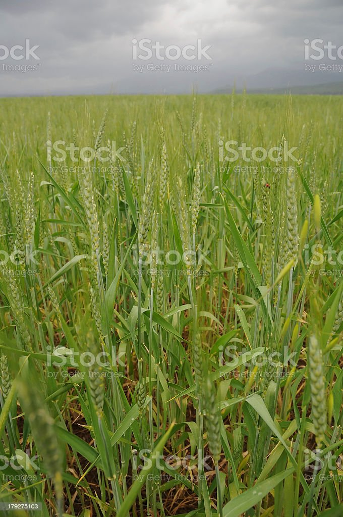 field of wheat at stormy weather royalty-free stock photo