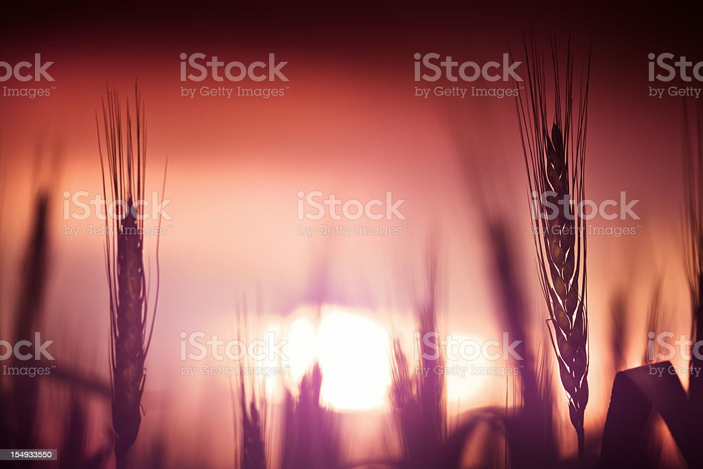 Field of wheat at sunset royalty-free stock photo