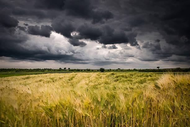 campo di grano prima della tempesta - cielo minaccioso foto e immagini stock