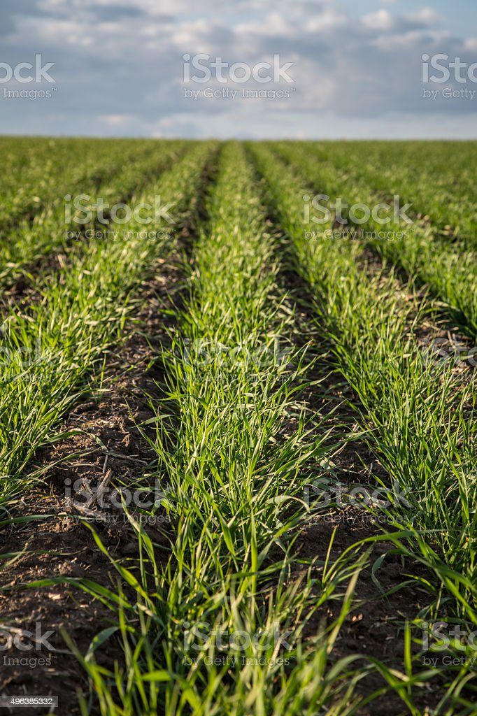 Field of Wheat in the Spring stock photo