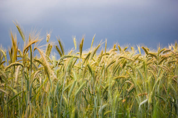 Field of wheat on a stormy day with dark blue stormy sky in the background. stock photo