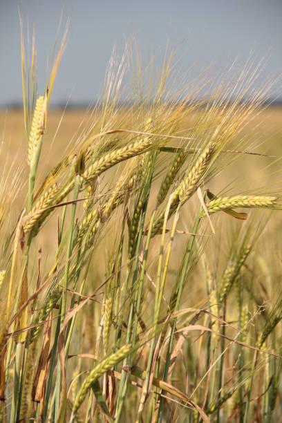 Field of wheat – zdjęcie