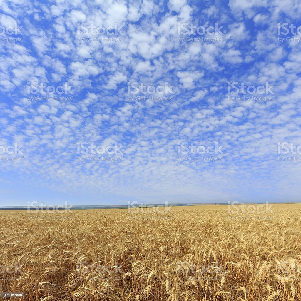 Field of wheat royalty-free stock photo