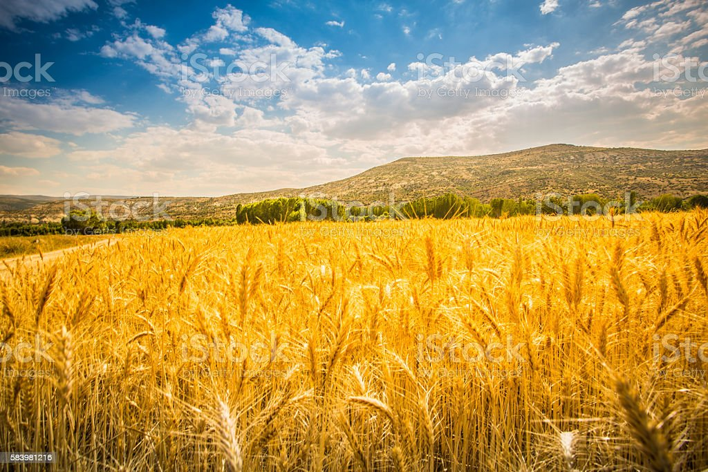 Bereich der Weizen  – Foto