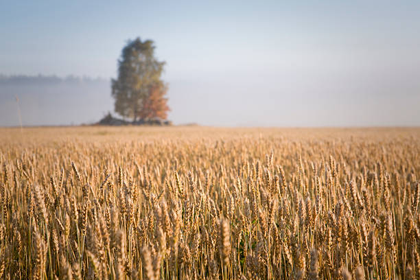 Field of Wheat with misty background stock photo