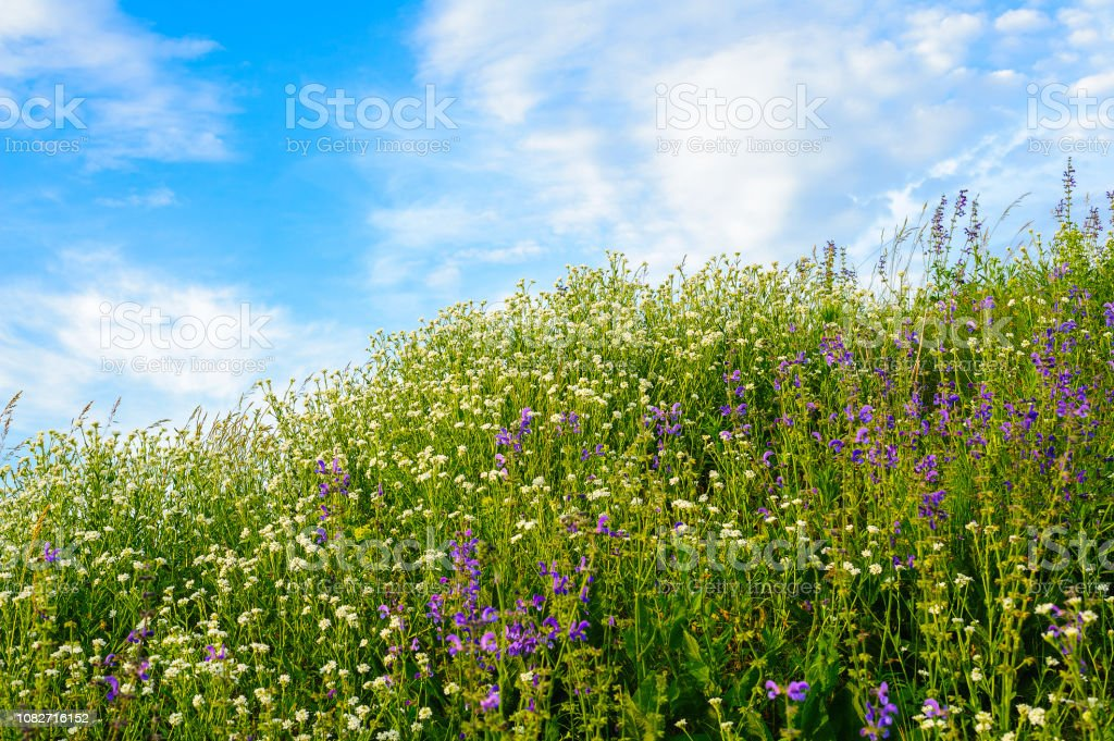 field of white and lilac flowers against the blue sky with clouds stock photo