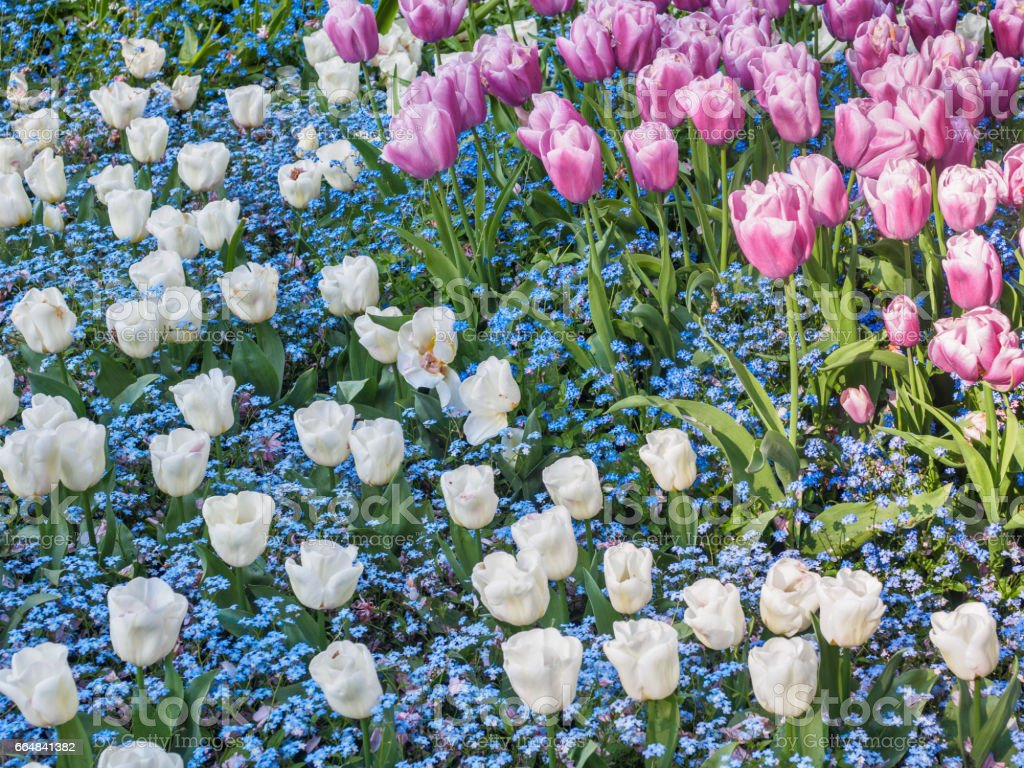 Field Of White And Pink Tulips With Blue Forgetmenots For A