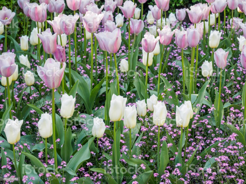 Field Of White And Pink Tulips With Pink Cover Flowers For A
