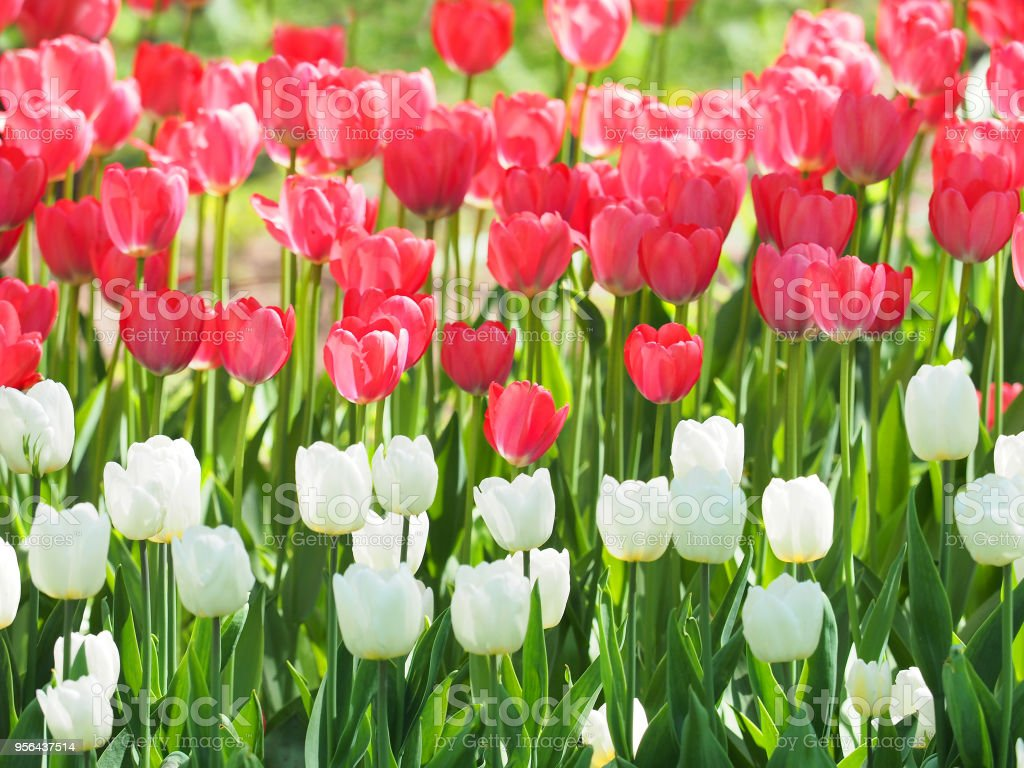 Field Of White And Red Tulips Landscape Beautiful Bouquet Of Spring