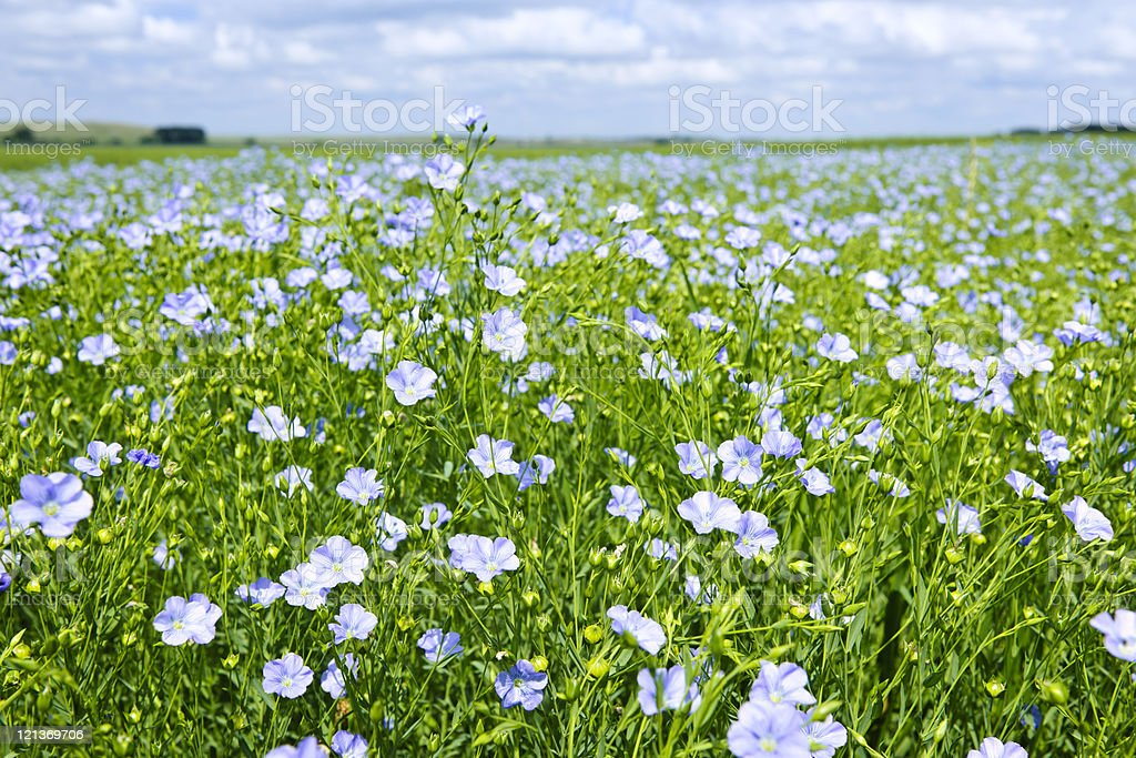 Field of white blooming flax over green leaves and stems stock photo