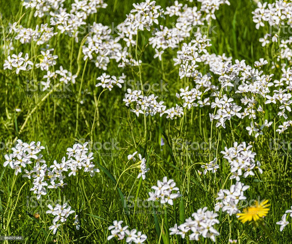 field of white blooming flowers stock photo