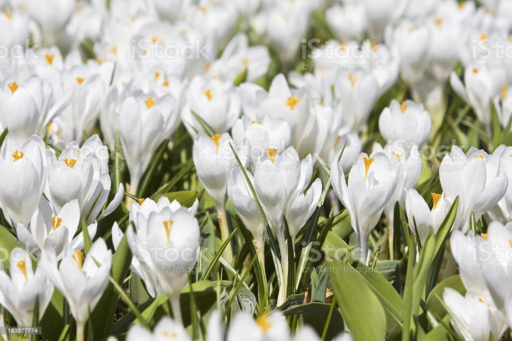 field of white crocuses stock photo
